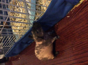 Two male skinny pigs for sale