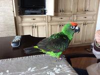 Perroquet Jardine