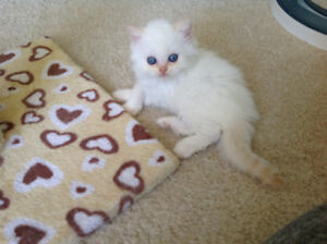Extreamly adorable flame point Himalayan kitten to be reserved!