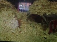 2 female gerbils with cage and lots of extras