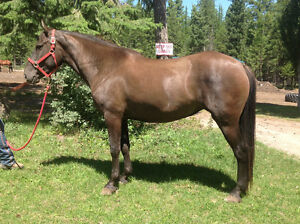 Canadian Mare
