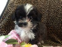 DESIGNER SHIH TZU x POMERANIAN PUPPIES - EACH ONE OF A KIND!