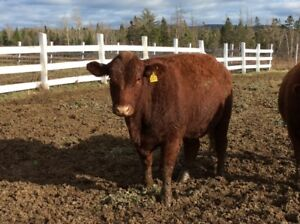 Beef bred heifers and young cows for sale