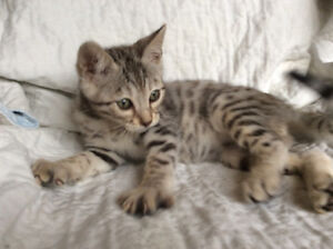 Smoke, Silver Males Bengal kittens Pure Breed /**Special**