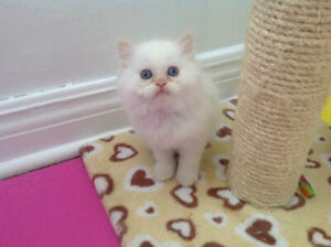 Only 1 pure breed cream point Himalayan kitten left to reserve.