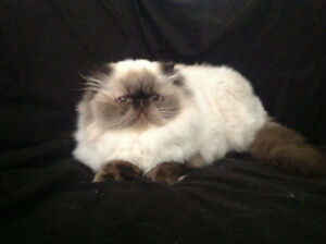 Registered Himalayan Persian Female
