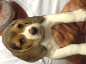 Selling beagles for $300