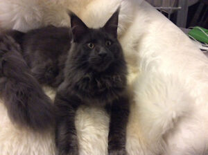 Registered Maine Coons