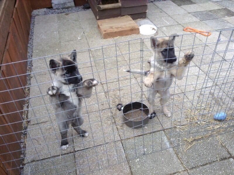 Japanese Akita/German Shepherd puppies   in Japan