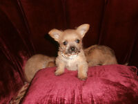 Chorkies..teacup..He is the last  1 males left. save $100.00