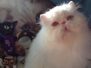 Persian & Championship Bloodline Campbell River Comox Valley Area image 2