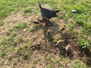 Guinea Hen Babies (keets)