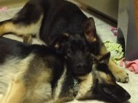 Bremner Family Raised CKC Pure Bred German Shepherd Pups 4 sale