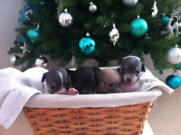 Adorable Chihuahua Puppies the Perfect Christmas Present