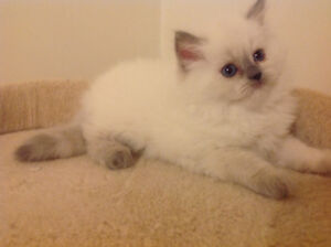 Pure breed Himalayan kitten to be reserved. Includes Operation!