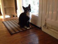 Coco black and white male cat age 2