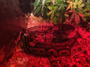 Female Ball Python for sale!