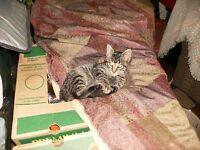 Tab Male 3 Month Kitten