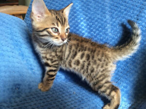Brown  Male Bengal Kitten Pure Breed /   Guaranty, Delivery