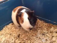 Male White and Ginger | Guinea Pig