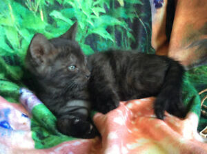 Smoke Male Kitten Bengal  Pure Race / Delivery