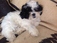 SUPPER SPECIAL, ONE OF A KIND SHIH TZU x POO PUPPIES