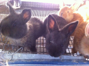 New Zealand Red Black Meat Rabbits - QUALITY BIG LITTERS