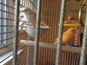 Canaries for sale Red Factor and rare Mosiac
