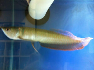 SILVER AROWANA NOW COME BACK AT T T PETS