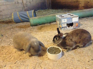 1 holland lop and 1 Netherland dwarf bunny for sale together