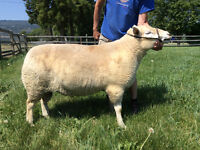 4 yr old 3/4 Texel Ram for Sale