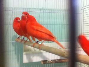 Pair of Red Factor