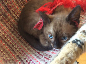 Male Snow Mink Bengal Kitten Blue Eyes/ Guaranties- Delivery