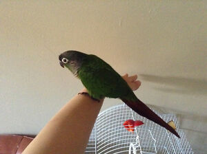 Tame baby Conure ❤️ Plus cage