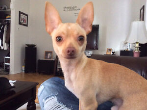 2- Chihuahuas