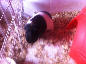 i have a male guinea pig for adoption