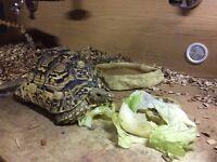 Leopard tortoise 7 years old