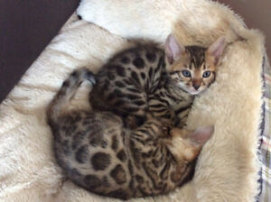 Top quality Tica registered purebred Bengal kittens ✨