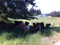 Natural Grass-Fed Beef - Lone Pine Ranch