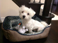 A cute Maltese dog is looking for a home!
