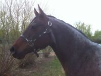 Reg QH mare: goes Eng or Western: TRADE for cow/calf pair
