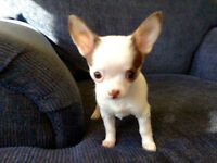 "SOLD Short coat female ""Apple Head"" chihuahua"