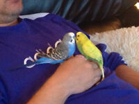 Amazing pair of budgies and cage included
