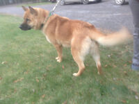 Shepard/Chow spayed 2 year old