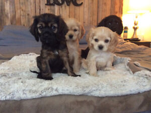 Gorgeous King Charles / Cocker Spaniel Mix puppies
