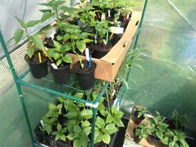Chilli plants.