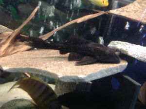 FISH - BRN PLECOS -  BUY LARGER QUANTITY -  VARIOUS SIZES