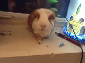 Looking to adopt unwanted guinea pig / pigs-Must Be Free
