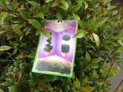 Bush Christmas (Syzygium) Black Rock Bayside Area Preview