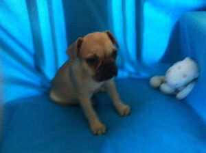**REDUCED PRICE ON FRENCH BULLDOG FEMALE PUPPY**